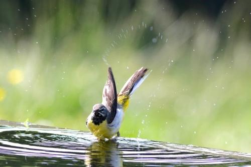 きせきれい水浴びmネ995A4221 -3