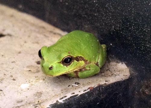 カエル01