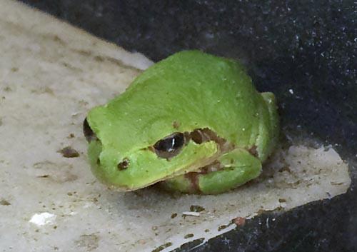 カエル02