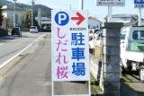 田ノ頭郷の枝垂れ桜6