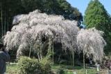 田ノ頭郷の枝垂れ桜7