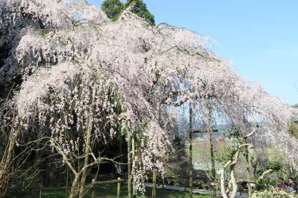 田ノ頭郷の枝垂れ桜1