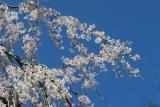 田ノ頭郷の枝垂れ桜2
