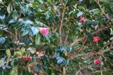 長崎の県の花木椿2