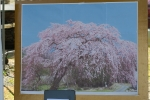 枝垂れ桜写真