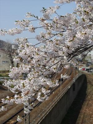 2015小樽桜 (3)_R
