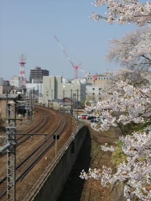 2015小樽桜 (4)_R