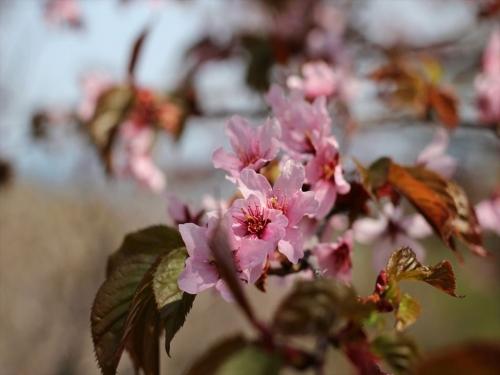 2015小樽桜 (57)_R