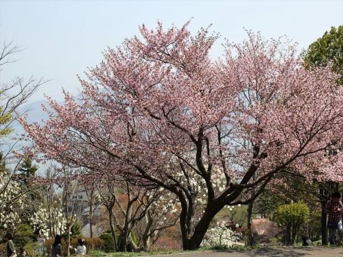 2015小樽桜 (45)_R