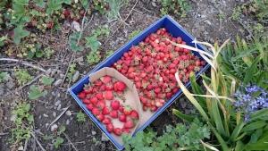 イチゴの収穫