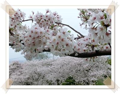 20150404桜