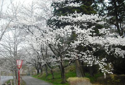 15年04・12宇ノ気の桜 001