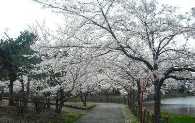 15年04・12宇ノ気の桜 013