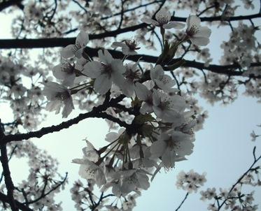 15年04・12宇ノ気の桜 010