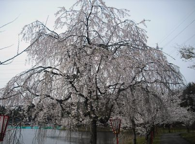 15年04・12宇ノ気の桜 007