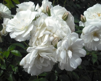 15年05・23富樫のバラ 012