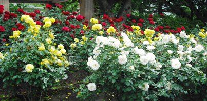 15年05・23富樫のバラ 017