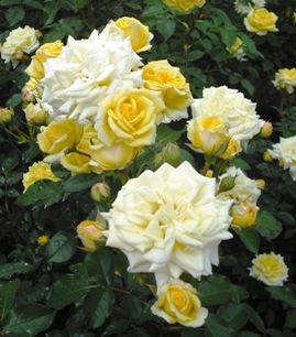 15年05・23富樫のバラ 021
