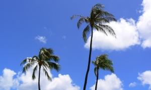 ハワイの椰子の木