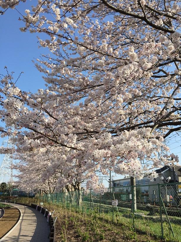 20150401sakura1.jpg