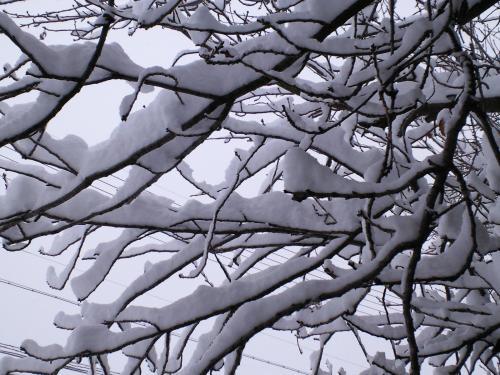八重桜の枝に雪(27.1.1)