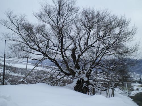千歳桜(27.1.21)