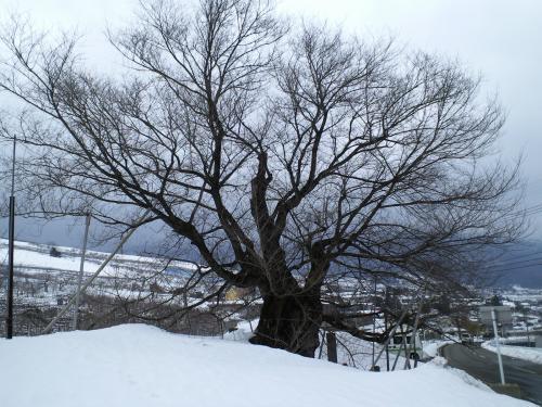 今日の千歳桜(27.2.23)