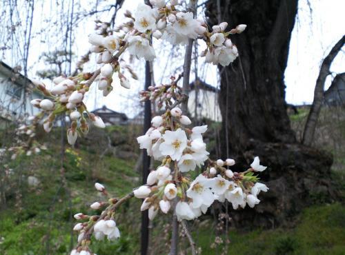 大日庵のしだれ桜開花(27.4.6)