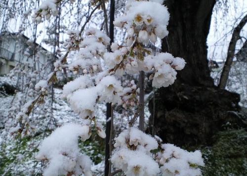 大日庵のしだれ桜に雪(27.4.8)