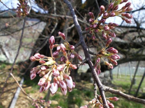 4月9日の千歳桜(27.4.9)