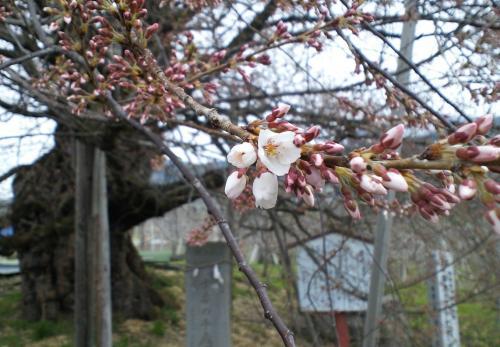10日の千歳桜(27.4.10)