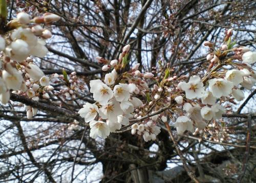 千歳桜(27.4.12)