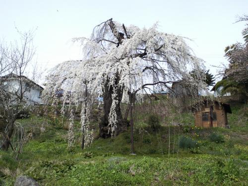 大日庵のしだれ桜(27.4.12)