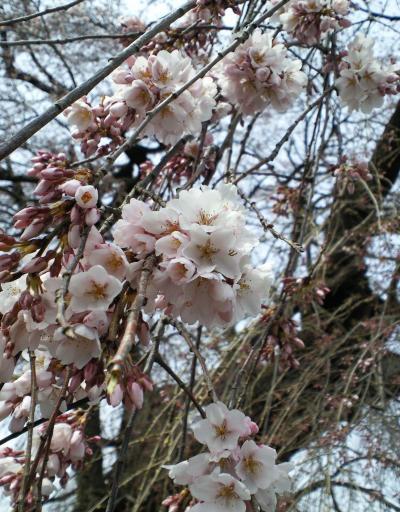 区民会館前のしだれ桜(27.4.12)