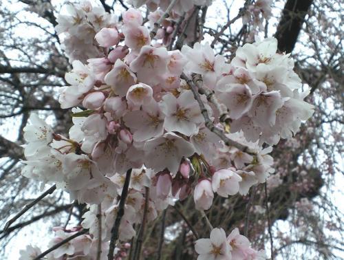 区民会館前のしだれ桜アップ(27.4.14)