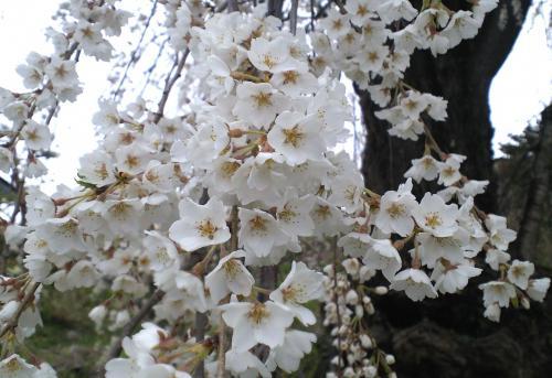 大日庵のしだれ桜アップ(27.4.14)