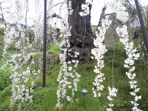 大日庵のしだれ桜(27.4.14)