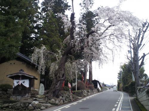 深澤神社のしだれ桜(27.4.14)