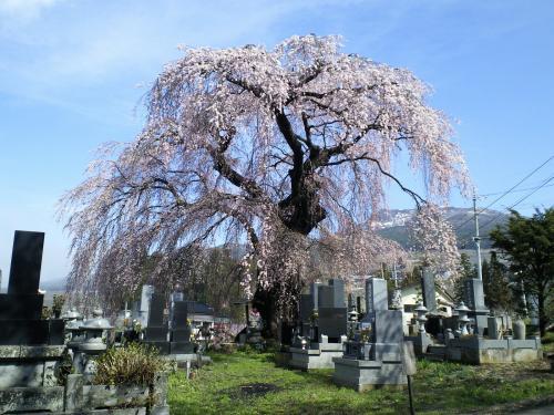 区民会館前のしだれ桜(27.4.15)