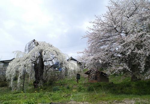 大日庵のしだれ桜(27.4.15)