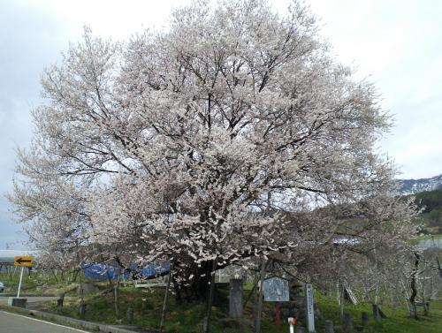 宇木のエドヒガン千歳桜(27.4.15)