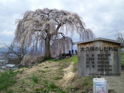 大久保のしだれ桜(27.4.15)