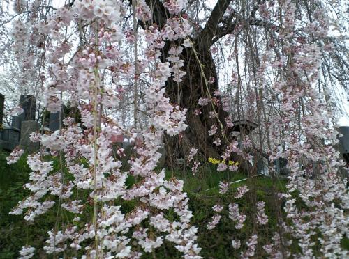 夕方の区民会館前のしだれ桜(27.4.16)