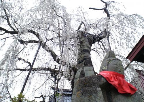 隆谷寺のしだれ桜(27.4.16)