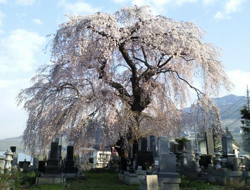 区民会館前のしだれ桜(27.4.16)