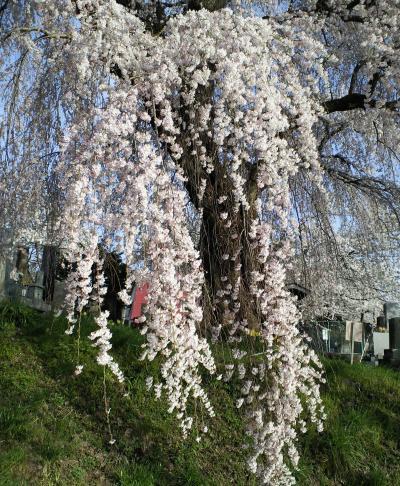 風に揺れるしだれ桜(27.4.18)