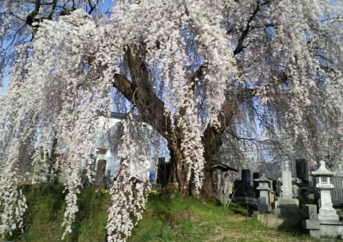 区民会館前のしだれ桜(27.4.18)