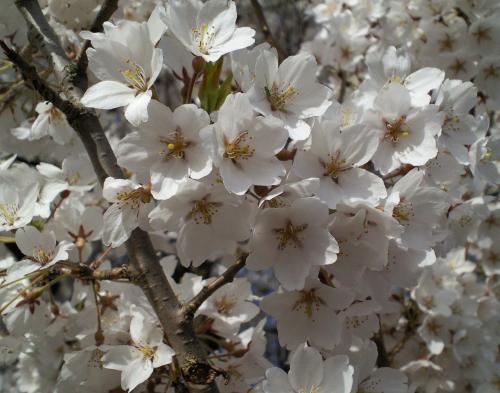 千歳桜のアップ(27.4.18)