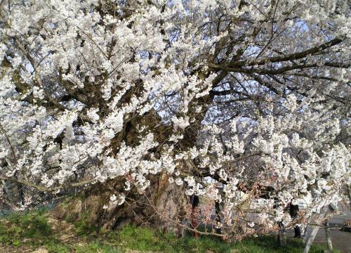 千歳桜(27.4.18)