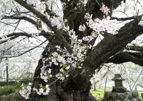 千歳桜の幹(27.4.20)